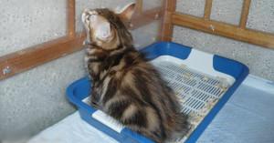 Приучаем взрослую кошку к туалету