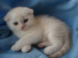 Как назвать вислоухого котенка