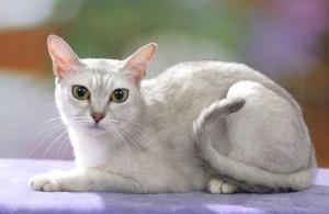 Характер кошки бурмилла