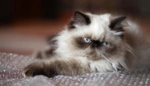 Уход и содержание гималайской кошки