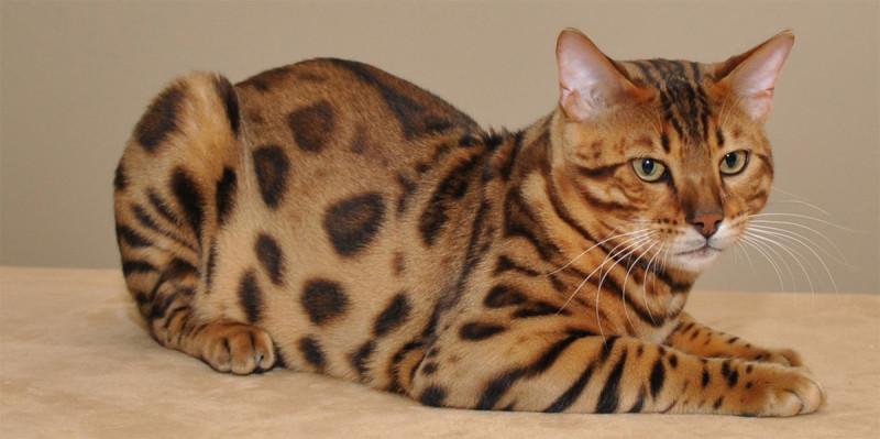 Бенгальская короткошерстная кошка
