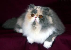 Фото Персидская кошка