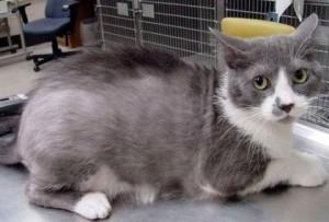 Причины потери шерстки у кошек
