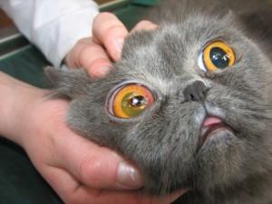Заболевания глаз у кошки