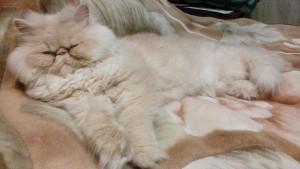 Персидская кошка уход и содержание дома