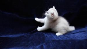 Имена (клички) для белых кошек