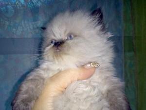 Отзывы владельцев о гималайских кошках