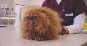 Персидский кот и ветеренар