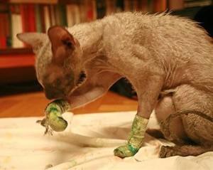 Уход за кошкой после удаления ногтей