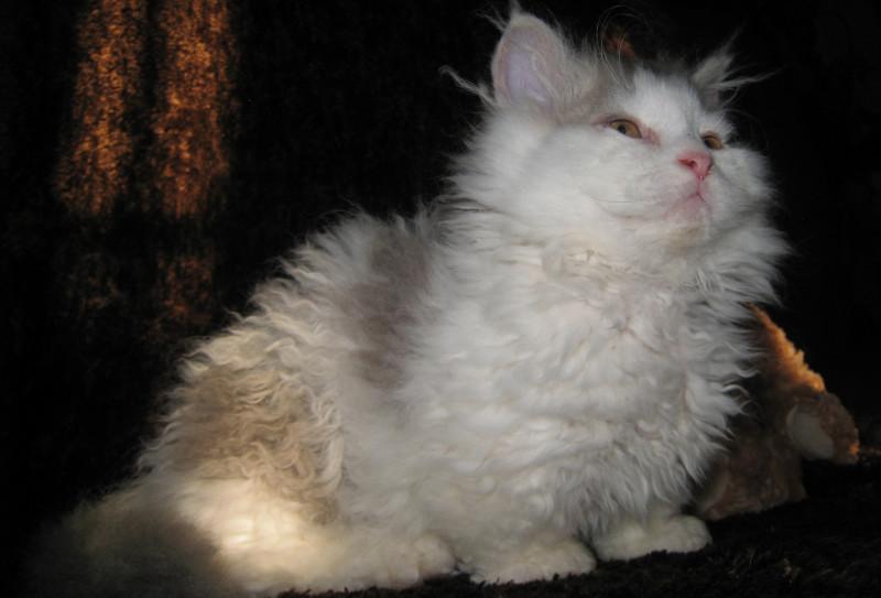 Ламбкин кошка-ягненок