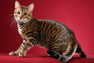 Уход и содержание кошки Тойгер