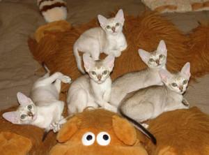 Котята сингапурской породы кошек