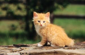 Рыжий котенок и как выбрать кличку