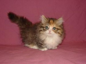 Котенок породы наполеон