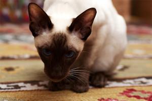 Фото. Сиамская кошка