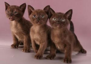 Котята бурманской кошки
