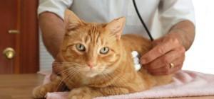 Диагностика печеночных болезней у кошек