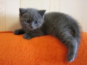 Серый котенок мальчик