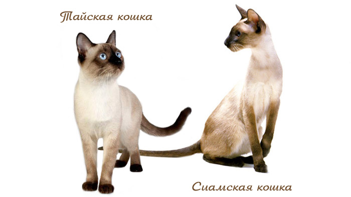 Отличие тайской от сиамской кошки