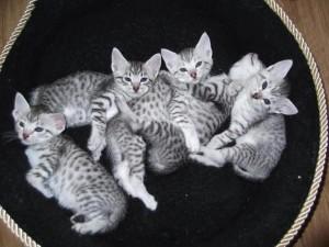 Котята египетской кошки Мау