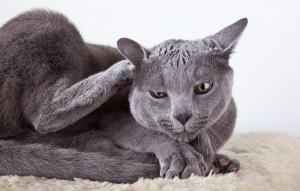 Кот чешет уши и трясет головой