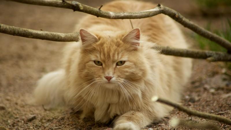 Норвежская лесная кошка, фото