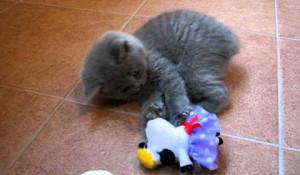 Британский котенок с игрошкой