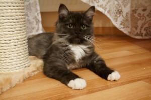 Котенок породы рагамаффин