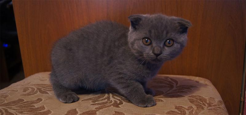 Скоттиш-фолд серого или голубого цвета