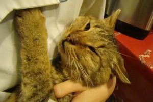 Возможные причины инсульта у кошек