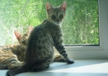 Фото кошки Серенгети