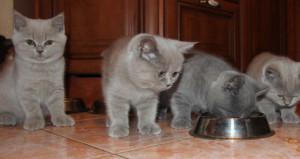 Британский котенок у миски