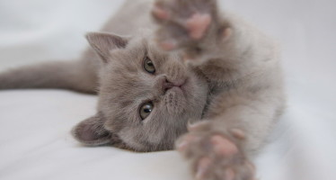 Уход за британскими котятами