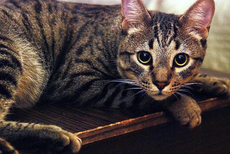 Кошка калифорнийская сияющая