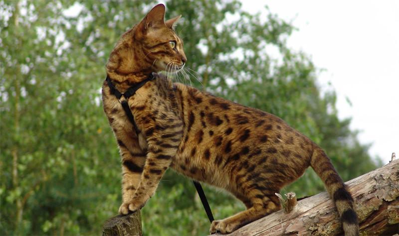 Бенгальская кошка, пятнистого окраса