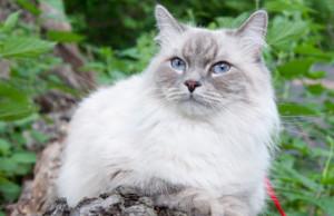 Фото. Невская маскарадная кошка