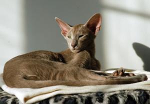 Ориентальная кошка и ее характер