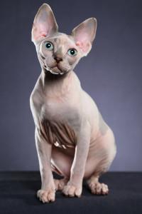 Лысая порода кошек