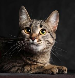 Калифорнийская сияющая кошка и ее интилект