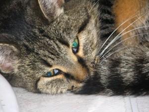 Вирусные и инфекционные заболевания у кошек