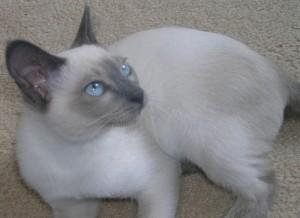 Фото. Тонкинская кошка