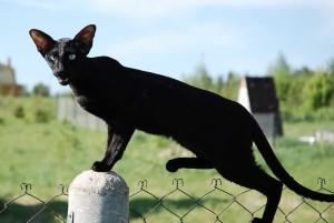 Ориентальная кошка и уход за ней