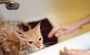 Страх воды у кошек