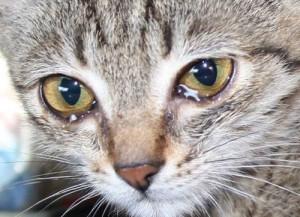 Аллергические реакции у кошек