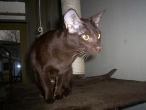 Фото кошки гавана
