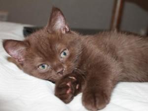Котенок породы - Йоркская шоколадная кошка