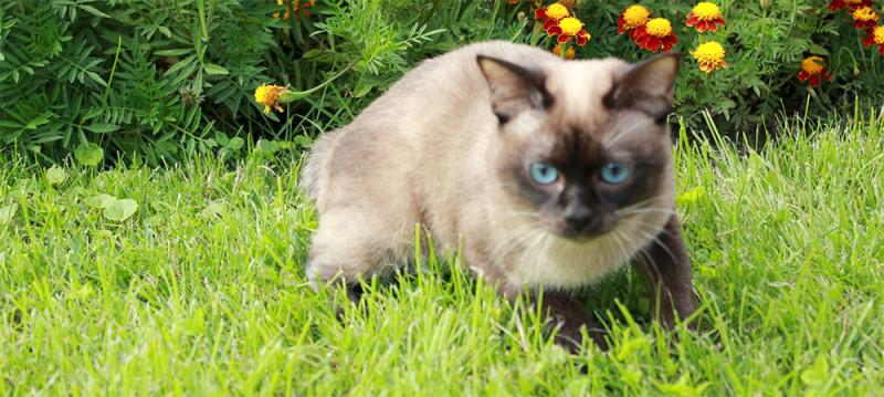 Меконгский бобтейл кот