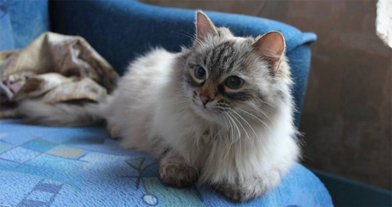 Невская маскарадная кошка и ее характер