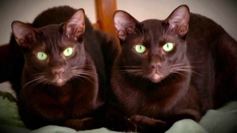 Содержание кошек гавана