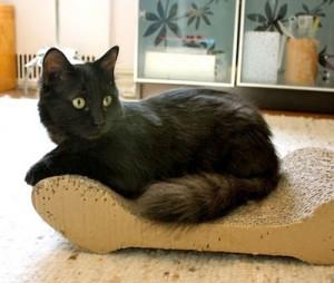 Фото. Йоркская шоколадная кошка